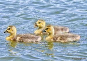Three baby gooslings