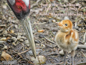 Mama crane and baby with Heshel quote