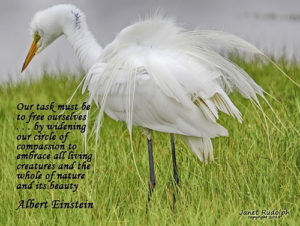 Great Egret with quote by Albert Einstein