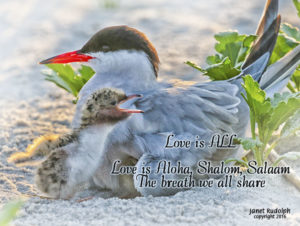Mama and baby tern with Aloha