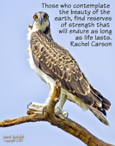 Juvenile Osprey with Rachel Carson quote