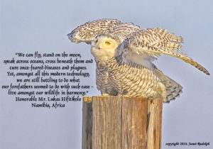 Snowy Owl at  Jones Beach