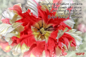 Tulip with quote by Emerson